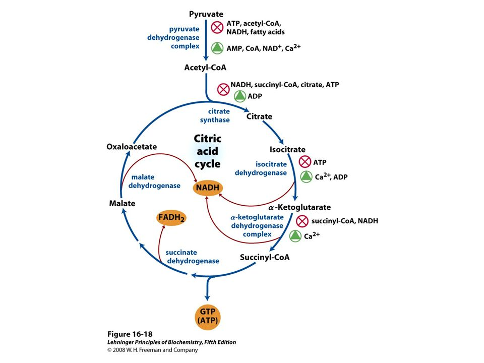 FIGURE 16-18 Regulation of metabolite flow from the PDH complex through the citric acid cycle in mammals. The PDH complex is allosterically inhibited when [ATP]/[ADP], [NADH]/[NAD+], and [acetyl-CoA]/[CoA] ratios are high, indicating an energy-sufficient metabolic state. When these ratios decrease, allosteric activation of pyruvate oxidation results. The rate of flow through the citric acid cycle can be limited by the availability of the citrate synthase substrates, oxaloacetate and acetyl-CoA, or of NAD+, which is depleted by its conversion to NADH, slowing the three NAD-dependent oxidation steps. Feedback inhibition by succinyl-CoA, citrate, and ATP also slows the cycle by inhibiting early steps. In muscle tissue, Ca2+ signals contraction and, as shown here, stimulates energy-yielding metabolism to replace the ATP consumed by contraction.